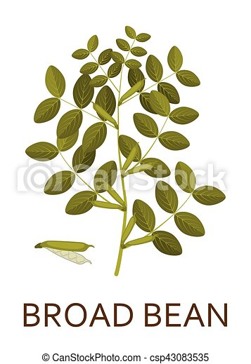 Broad bean plant with leaves and pods. Vector illustration. - csp43083535