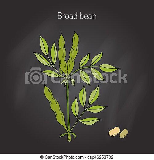 Broad beans vector - csp46253702