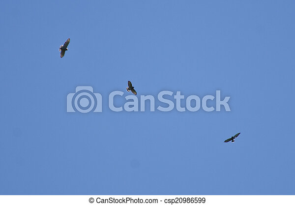 Broad-Winged Hawk Migration - csp20986599