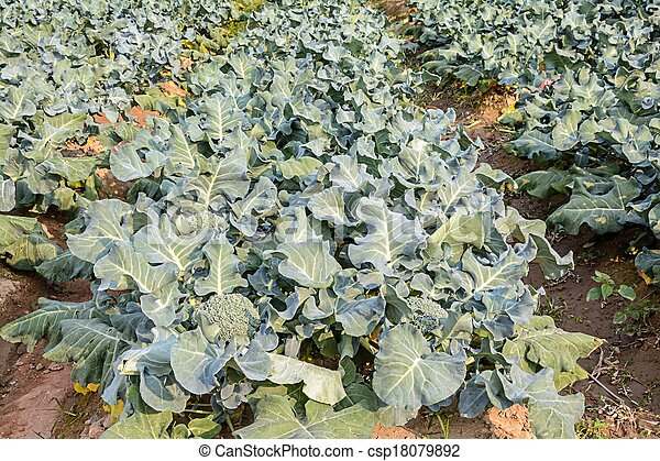 Broccoli growing up - csp18079892