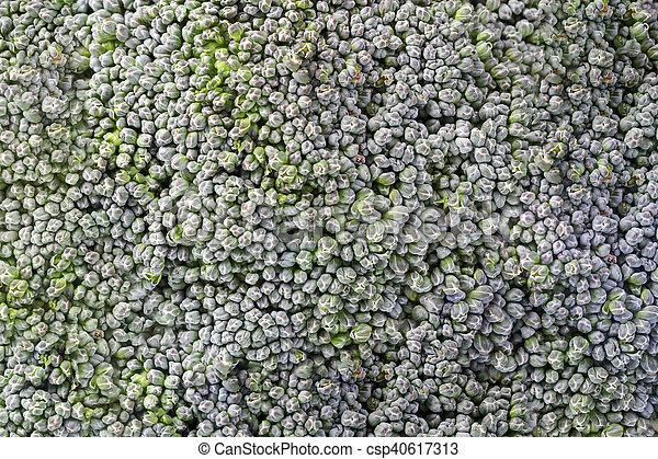 Broccoli isolated on white background - csp40617313