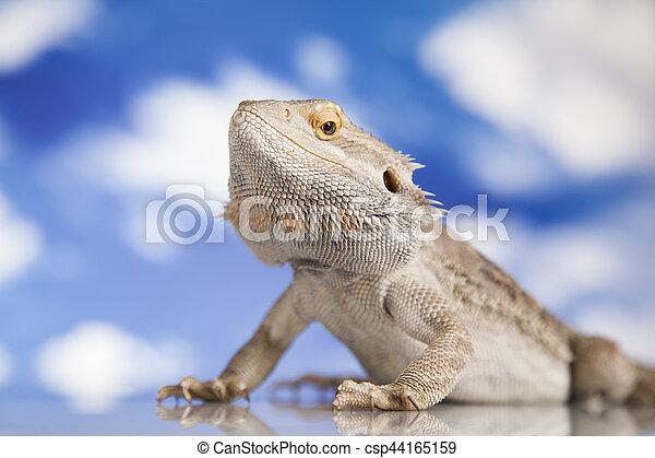 brodaty, pieszczoch, niebo, jaszczurka smoka, tło - csp44165159
