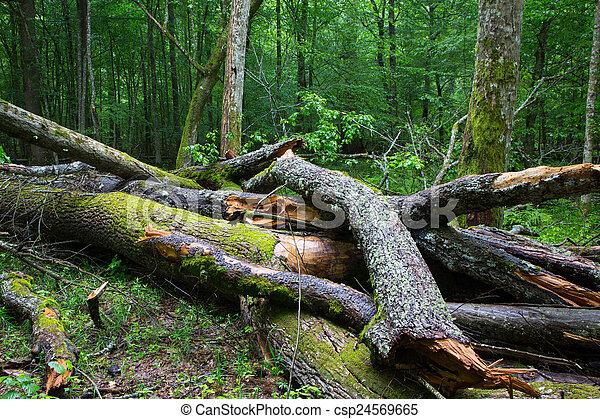 Broken ash tree branch moss wrapped - csp24569665
