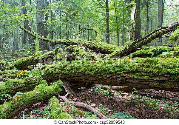 Broken oak tree branch moss wrapped - csp32059543
