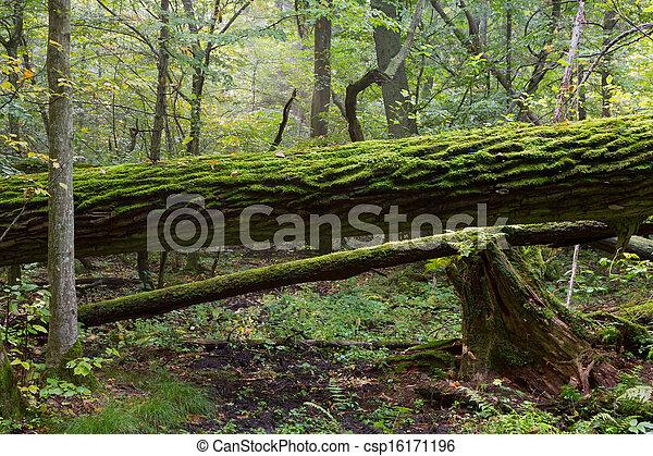 Broken oak tree moss wrapped trunk - csp16171196