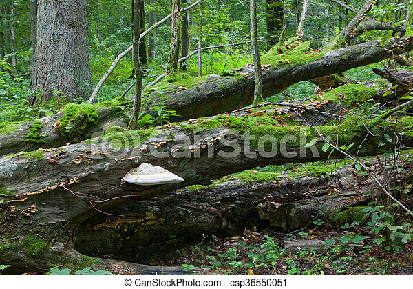 Broken old hornbeam tree with polypore fungus - csp36550051