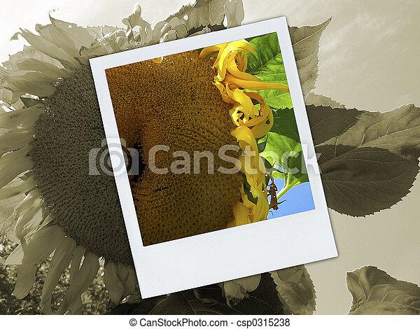 Broken Sunflower Polaroid - csp0315238