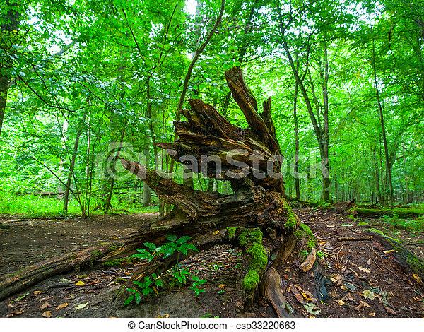 Broken tree roots in Bialowieza primeval forest - csp33220663