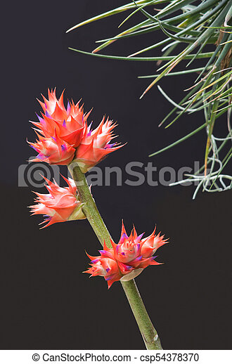 Bromeliad Flowers and Stem - csp54378370
