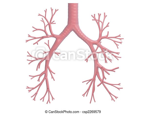 bronchi, umano - csp2269579