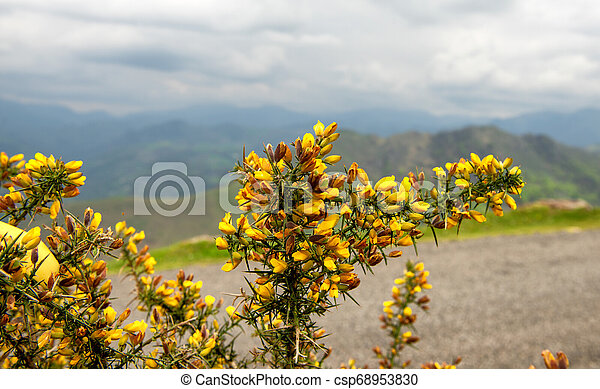 Broom Bushes With Yellow Flowers In Cloudy Day Of Spring Broom