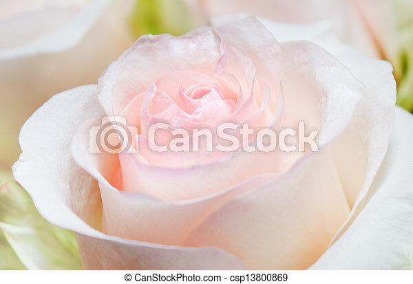 broto rosa - csp13800869