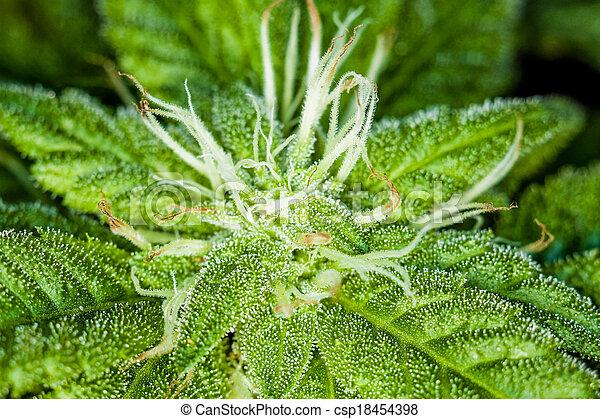 brotos, fresco, planta, closeup, marijuana - csp18454398