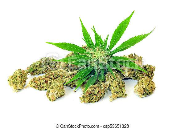 brotos, planta maconha, branca, isolado - csp53651328