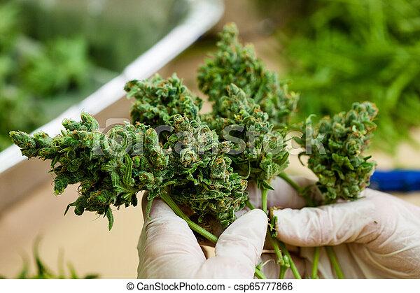 brotos, -, trabalhador, marijuana, grande, cannabis, fresco, luvas, segurando, série, verde - csp65777866