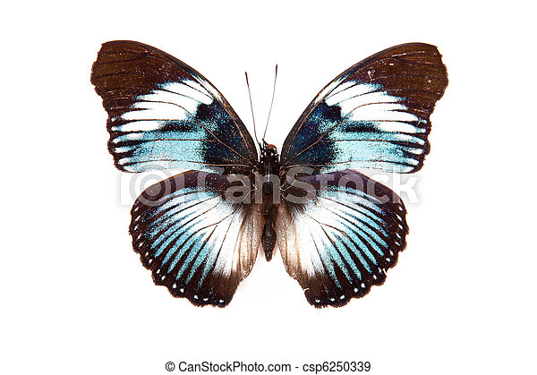 Brown and blue butterfly Hypolimnas monteironis isolated on white background - csp6250339