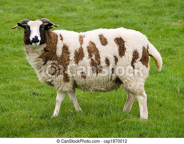 brown and white sheep standing in a grass field stock