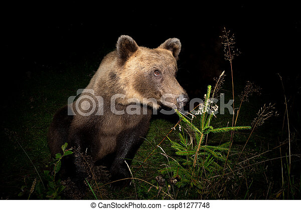 Brown bear is watching prey at night. - csp81277748