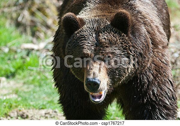 brown bear (lat. ursus arctos)  - csp1767217