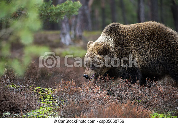 brown bear (Ursus arctos) in winter forest - csp35668756