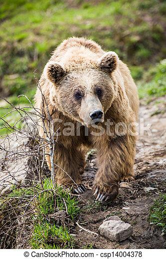 Brown Bear (Ursus arctos) - csp14004378