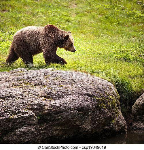 Brown bear (Ursus arctos) - csp19049019