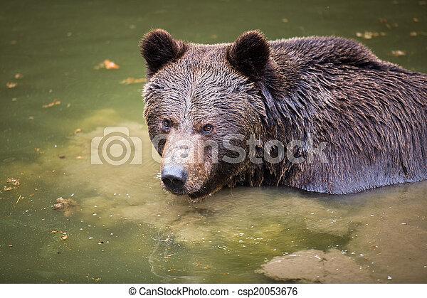 Brown bear (Ursus arctos) - csp20053676