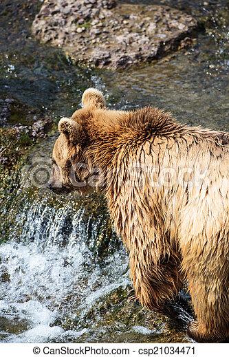 Brown Bear (Ursus arctos) - csp21034471
