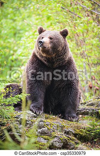 Brown bear (Ursus arctos) - csp35330979