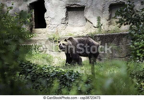 Brown bear (Ursus arctos) - csp38723473