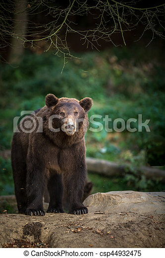 Brown bear (Ursus arctos) - csp44932475