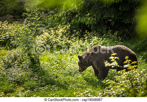 Brown bear (Ursus arctos) - csp19048987