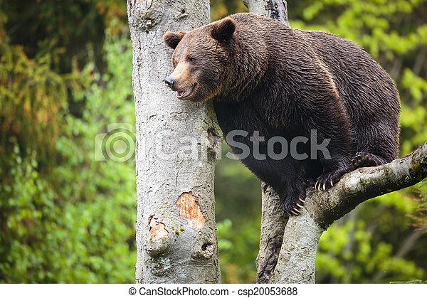 Brown bear (Ursus arctos) - csp20053688