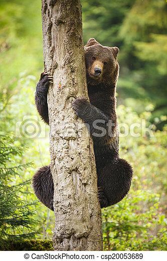 Brown bear (Ursus arctos) - csp20053689