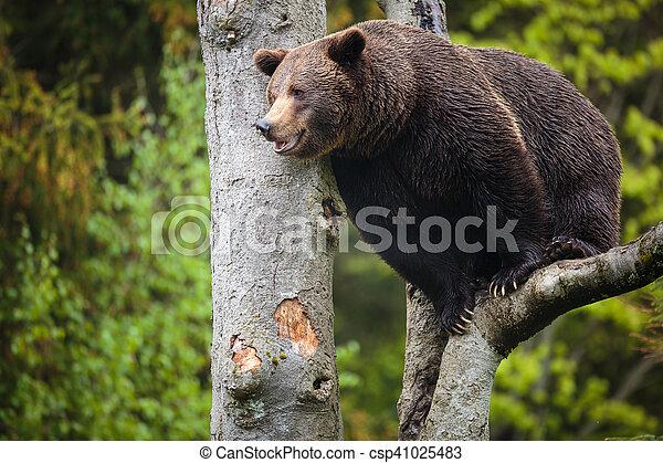 Brown bear (Ursus arctos) - csp41025483