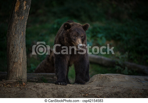 Brown bear (Ursus arctos) - csp42154583