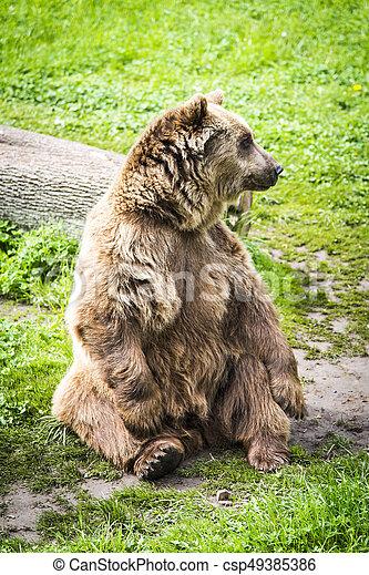 Brown bear Ursus arctos - csp49385386