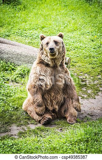 Brown bear Ursus arctos - csp49385387