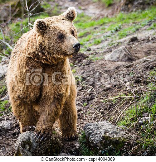 Brown Bear (Ursus arctos) - csp14004369