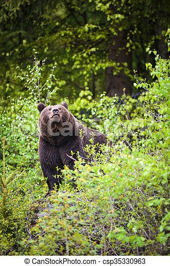 Brown bear (Ursus arctos) - csp35330963