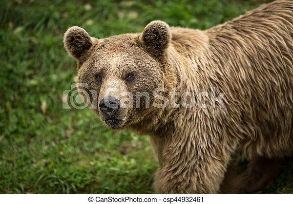 Brown bear (Ursus arctos) - csp44932461