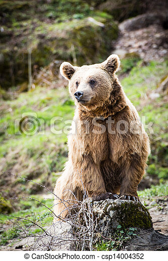 Brown Bear (Ursus arctos) - csp14004352