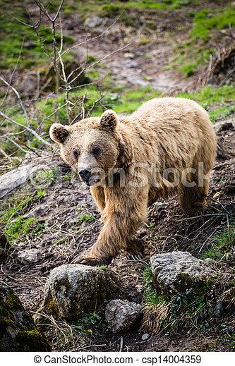 Brown Bear (Ursus arctos) - csp14004359