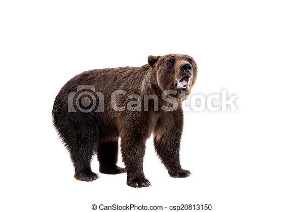 Brown bear, Ursus arctos - csp20813150
