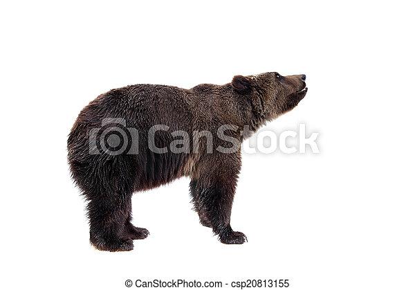 Brown bear, Ursus arctos - csp20813155