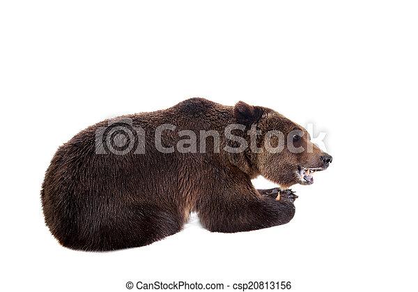 Brown bear, Ursus arctos - csp20813156