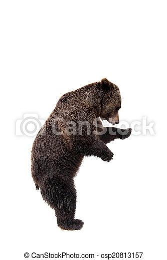 Brown bear, Ursus arctos - csp20813157