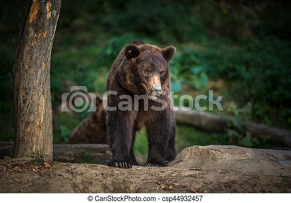 Brown bear (Ursus arctos) - csp44932457