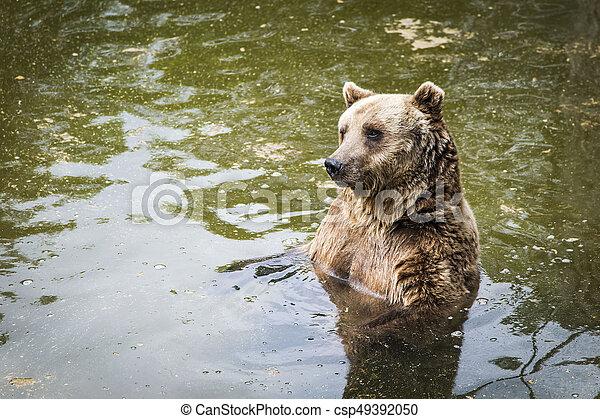 Brown bear Ursus arctos - csp49392050