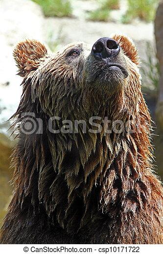 Brown bear (Ursus arctos) - csp10171722
